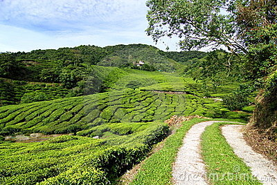 Tea Plantation with Access Road