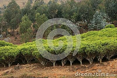 Tea plantation in africa