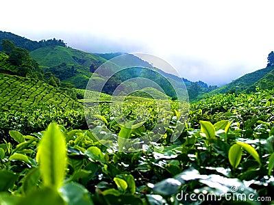 Tea Plantation @ Cameron Highland