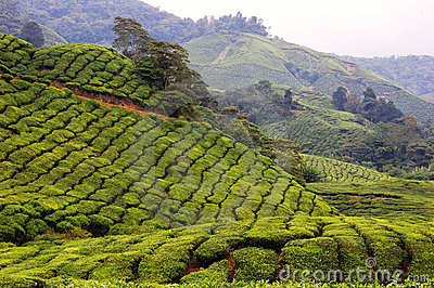 Tea Plantation Farm in Cameron Highlands