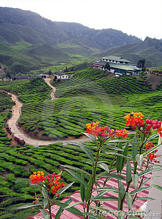 Tea plantation on highlands