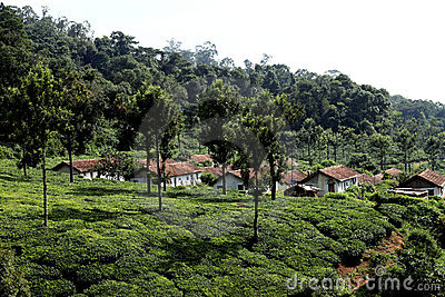 Tea plantation,India