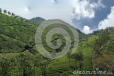 Tea plantation of Kerala, India