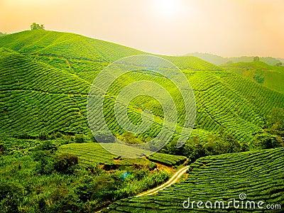 Tea plantation - Malaysia