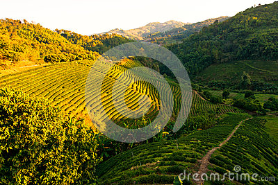 Tea plantation at sunset