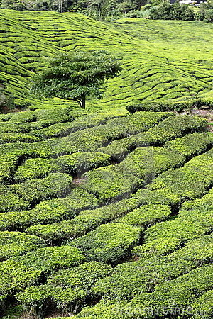 Tea Plantation with Tree