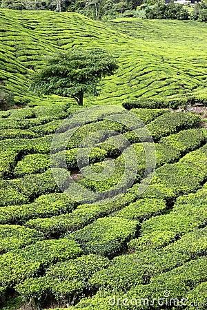 Tea Plantation with Tree