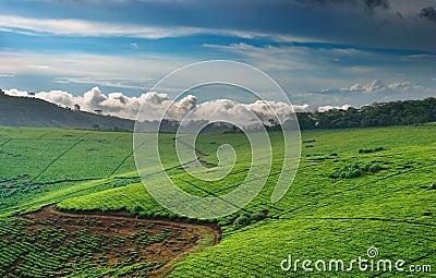 Tea plantation in Uganda