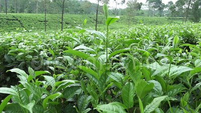 Tea plantation in Wonosobo. Indonesia, Java. Tea plantation in Wonosobo. Indonesia Java stock video