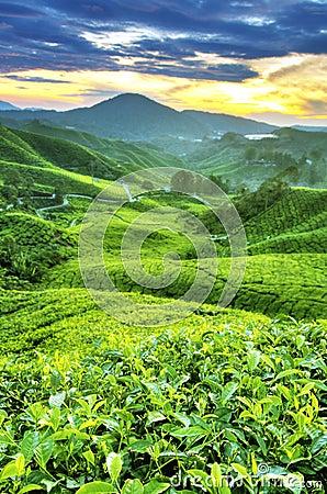 Free Tea Plantations Royalty Free Stock Image - 13663166