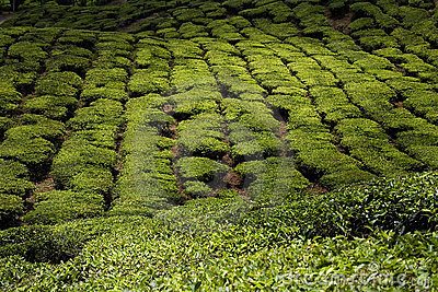 Tea plantations in malaysia, cameron highlands