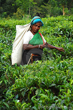 Tea Picker at the Plantation in Sri Lanka Editorial Image