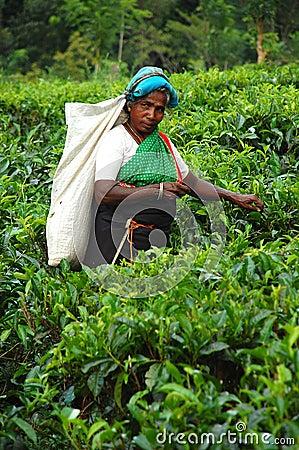 Tea Picker at the Plantation in Sri Lanka Editorial Image