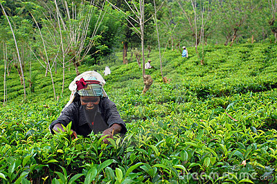 Tea Picker at Work Editorial Photo
