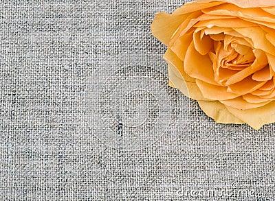 Tea rose on linen background