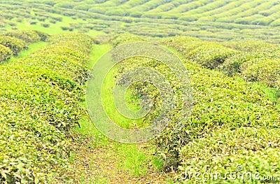 Tea tree garden