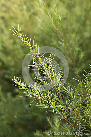 Free Tea Tree Sprig Stock Images - 49333404