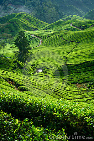 Tea Valley, Cameron Highlands