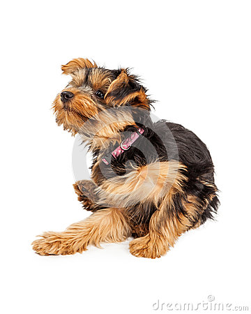 Free Teacup Yorkie Dog Sitting And Scratching And Itch Royalty Free Stock Photos - 47834588