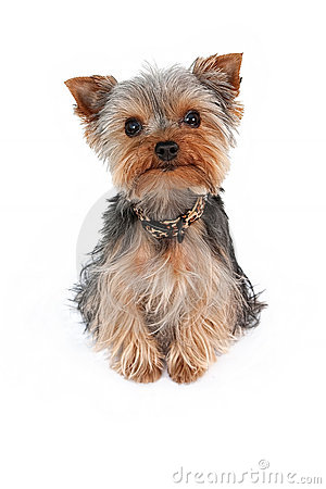 Free Teacup Yorkshire Terrier Royalty Free Stock Photo - 13740715