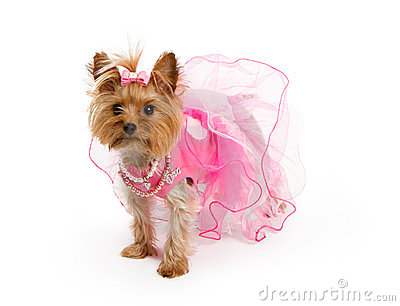 Teacup Yorkshire Terrier in Pink Outfit