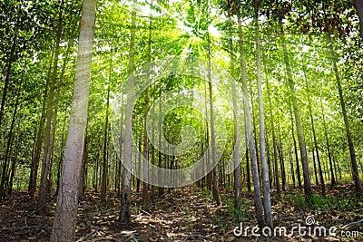 Teak forests