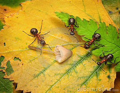 team of ants examine mushroom