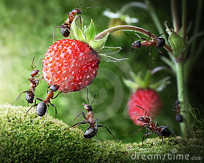 Team of ants picking wild strawberry, teamwork