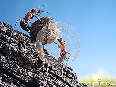 Team of ants rolls stone uphill, teamwork