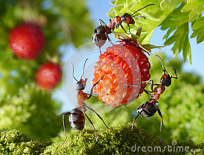 Team of ants and strawberry, agriculture teamwork