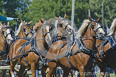 Team of Belgian Draft Horses at Country Fair