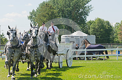 Team of Grey Percherons at Country Fair Editorial Stock Image