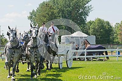 Team of Grey Percherons at Country Fair Editorial Stock Image