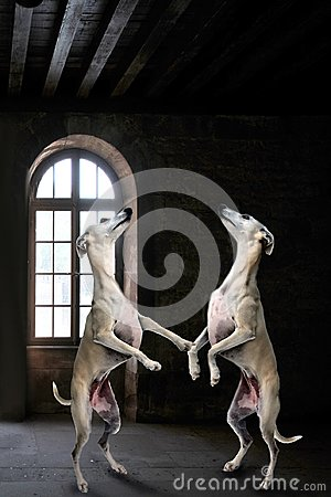 Free Team Of Whippets Dancing In A Mystery Dark Room Royalty Free Stock Image - 122807836