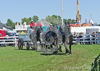 Team of Percheron Draft Horses Pulling a Wagon Editorial Photo