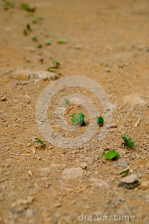 Free Teamwork - Leaf-Cutter Ants Carrying Pieces Of Leaves Stock Photos - 123331643