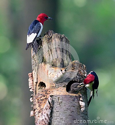 Free Teamwork Of Redhead Woodpecker Stock Photos - 123327803