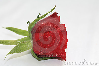 tears on a rose