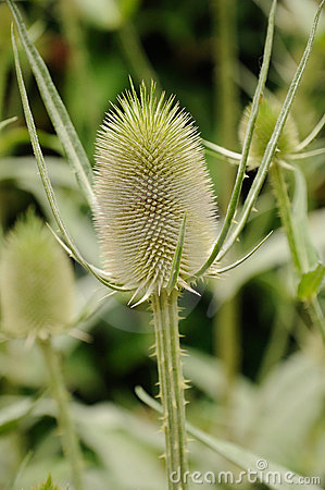 Free Teasel Stock Images - 21964294