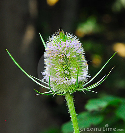 Free Teasel In Bloom Royalty Free Stock Photography - 12105357