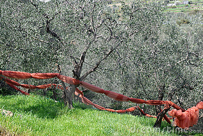 Techniques of cultivation of olive trees
