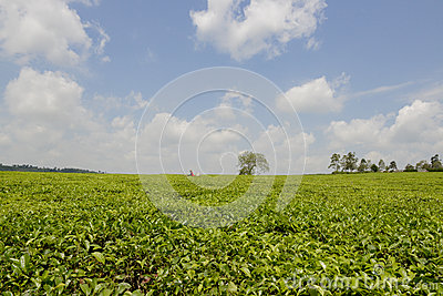 Tee plantation in Uganda