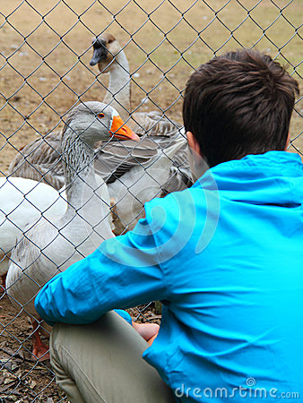 Free Teenage Boy And Geese At The Zoo Stock Images - 33822394