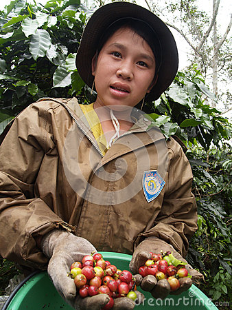 Teenager as a farm worker harvesting coffee berries Editorial Photography
