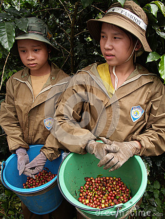 Teenagers as a farm worker harvesting coffee berries Editorial Photo