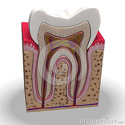 Teeth section