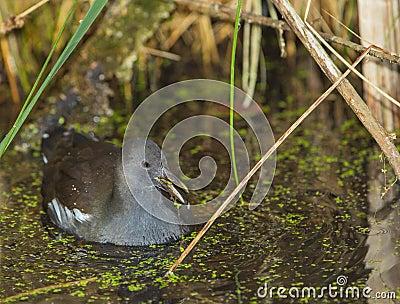 Teichhuhn im Sumpf