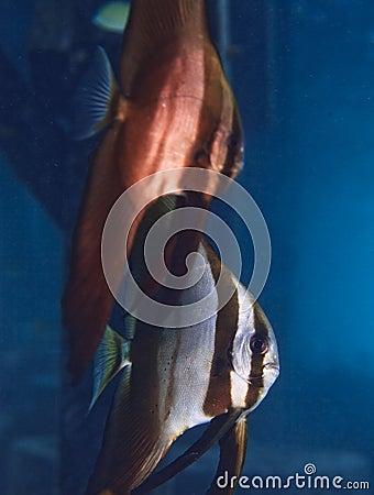 Teirta batfish