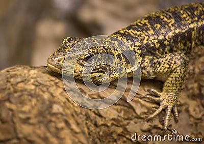 Teju - lizard, Tupinambis teguixin