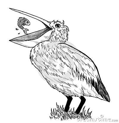 Tekening van pelikaan met vissen